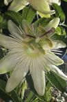 Photo Passion flower, white liana