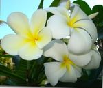 Photo Plumeria, white shrub