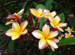 Photo Plumeria, yellow shrub