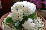 Photo Primula, Auricula, white herbaceous plant