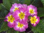 Photo Primula, Auricula, pink herbaceous plant