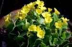 Photo Primula, Auricula, yellow herbaceous plant