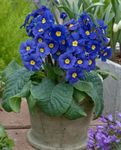 Photo Primula, Auricula, dark blue herbaceous plant
