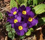 Photo Primula, Auricula, purple herbaceous plant