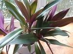 Photo Rhoeo Tradescantia, purple herbaceous plant