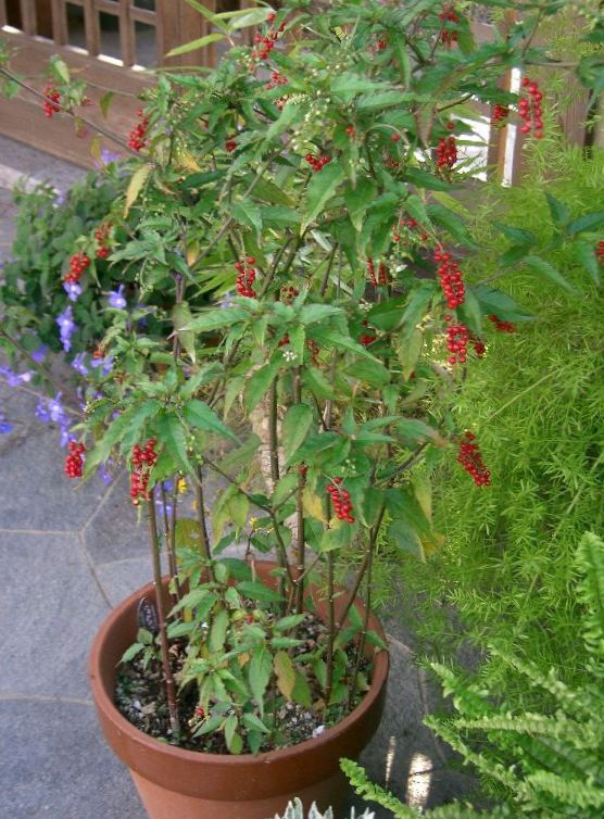Foto bloodberry rouge fabriek baby peper pigeonberry - Giftige zimmerpflanzen baby ...