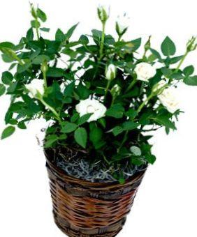 Foto rose wit struik - Giftige zimmerpflanzen baby ...
