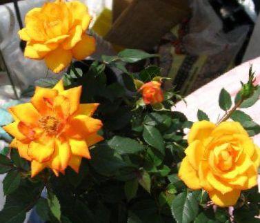 Foto rose oranje struik - Giftige zimmerpflanzen baby ...