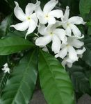 Photo Tabernaemontana, Banana Bush, white shrub
