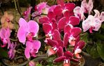 Photo Phalaenopsis, pink herbaceous plant