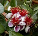 Photo Feijoa, pink tree