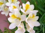 Photo Freesia, white herbaceous plant