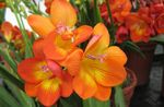 Photo Freesia, orange herbaceous plant