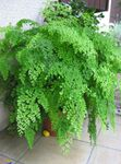 Photo Maidenhair Fern, light green
