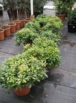 Photo Japanese Laurel, Pittosporum tobira, green shrub