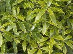 Photo Japanese Laurel, Pittosporum tobira, light green shrub