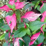 Photo Alternanthera, motley shrub