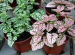 Photo Polka Dot Plant, motley