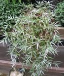 Variegated Basketgrass