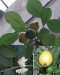 Photo Guava, Tropical Guava, green tree