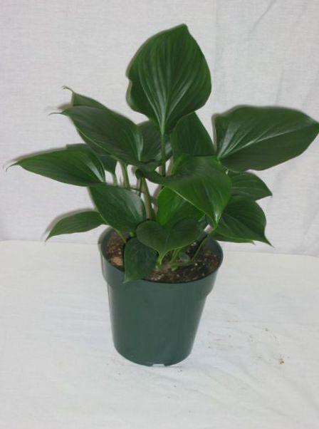Foto homalomena dunkel gr n - Zimmerpflanzen dunkel ...