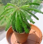 Biophytum, Sensitive Plant