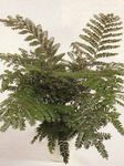 Photo Mahogany Fern, Terrestrial Fern, green
