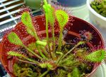 Photo Round-leaved sundew, light green