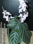 Photo Chamaeranthemum, India Plant, motley