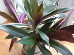 Photo Rhoeo Tradescantia, purple