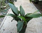 Aspidistra, Bar Room Plant, Cast Iron Plant