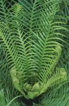 Photo Hard Fern, green