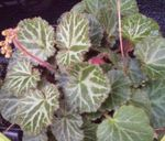 Photo Pedlar's Basket, Rowing Sailor, Strawberry Geranium, motley