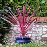 Photo Cordylin?, claret tree