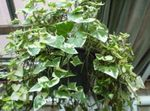 Photo Cape Ivy, Natal Ivy, Wax Vine, motley liana