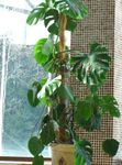 Photo Split Leaf Philodendron, dark green liana