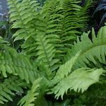 Photo Sword Ferns, green