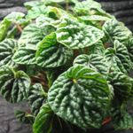 Photo Radiator Plant, Watermelon Begonias, Baby Rubber Plant, dark green