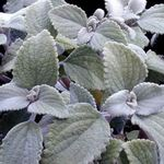 Photo Swedish Ivy, silvery shrub
