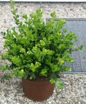 Photo Boxwood, green shrub