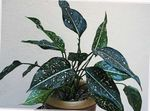 Photo Aglaonema, Silver Evergreen, motley