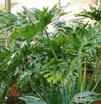 Photo Philodendron, green